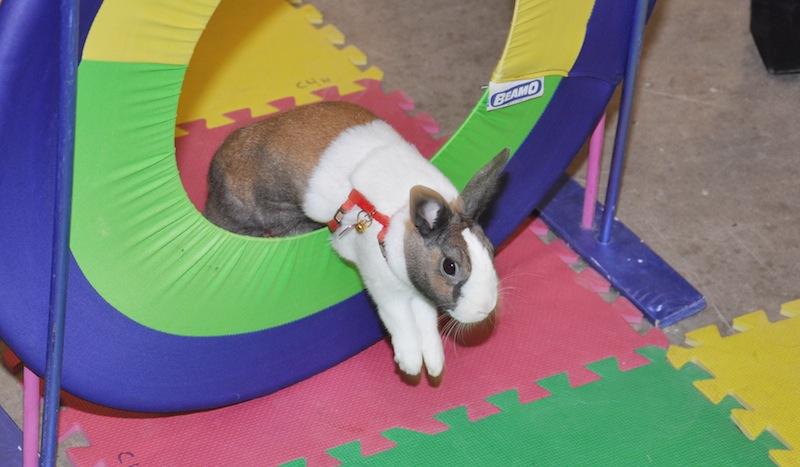 Chestermere Spring Fair Rabbit show