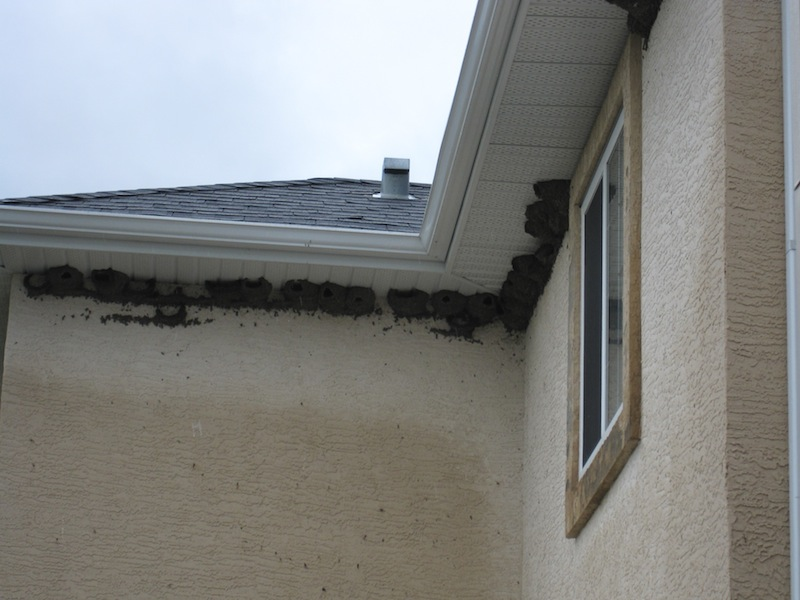 Birds Nest Under Eaves